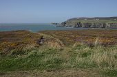 image of anglesey  - A view from a track through heather across a bay to south stack lighthouse in the distance Wales coast path Anglesey Wales uk.