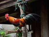stock photo of bantams  - Beautiful bantam stand on old wood  outdoor - JPG