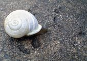 stock photo of snail-shell  - A snail with a white shell - JPG