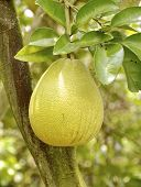 picture of pomelo  - The closeup of pomelo fruit  in field - JPG