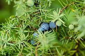 stock photo of juniper-tree  - Juniper blue berries on the tree - JPG