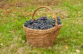 image of merlot  - Merlot Grapes in basket on autumn grass - JPG