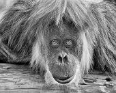 pic of orangutan  - Adult orangutan staring intently at the camera - JPG
