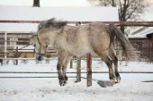 foto of pony  - Cute shetland pony jumping in the air in winter - JPG