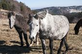foto of mule  - Highland mules grazing on winter mountain meadow in clear sunny day - JPG