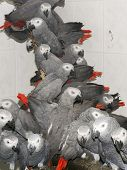 stock photo of smuggling  - Crowd of illegally transported and confiscated African grey parrots (Psittacus erithacus) in a quarantine