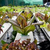 picture of hydroponics  - Organic hydroponic vegetable cultivation farm  - JPG