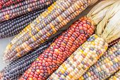 foto of corn  - A closeup of colored indian corn that was being sold at a farmers market in Northeastern PA - JPG