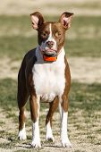 stock photo of pitbull  - A pitbull puppy posing at the park with her ears up - JPG