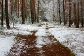 pic of snow forest  - The photo shows pine forest in winter - JPG