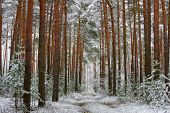 stock photo of snow forest  - The photo shows pine forest in winter - JPG