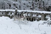 stock photo of husky sled dog breeds  - Siberian Husky winter - JPG