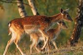 pic of deer family  - fallow deer  - JPG