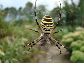 picture of caught  - the female spider - JPG