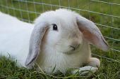 stock photo of mini lop  - Cute fluffy white baby mini lop rabbit - JPG