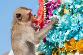 stock photo of monkeys  - Monkey is feeding itself in the annual feast held for monkeys in Lopburi Thailand - JPG