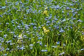 picture of cowslip  - Carpet of shiny forget-me-not and cowslip flowers ** Note: Shallow depth of field - JPG
