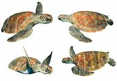 picture of sea-turtles  - Green Sea Turtles isolated on white - JPG