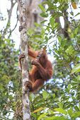 foto of orangutan  - Orangutan - JPG