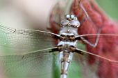 image of carnivorous plants  - A Didymops transvera stream cruiser dragonfly perches on a plant with red leaves in a midwestern United States of America forest in this macro photo - JPG