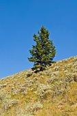 pic of sagebrush  - A lone Douglas fir tree on a hill covered with sagebrush - JPG