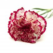 picture of carnation  - vareigated carnation flowers isolated on white background - JPG