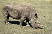 picture of rhino  - A rhino grazing in a conservation park in South Africa - JPG