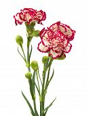 picture of sark  - vareigated carnation flowers isolated on white background - JPG