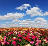 stock photo of buttercup  -  Spring flowering garden large buttercups  - JPG