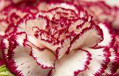 image of carnation  - variegated carnation flowers macro natural floral background - JPG
