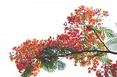 picture of royal botanic gardens  - Royal Poinciana isolated on white background in garden - JPG