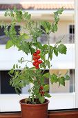 foto of tomato plant  - single plant of tomatoes in the balcony of a house - JPG