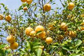 picture of orange-tree  - Orange Tree with the branch of ripe oranges - JPG