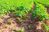 pic of potato-field  - Rows on Potato field with green bushes - JPG