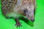 image of mammal  - Ordinary hedgehog on a green background - JPG