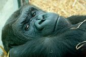 stock photo of gorilla  - photo portrait of a resting female lowland gorilla - JPG