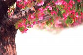 foto of apple tree  - blooming pink apple tree isolated on white background - JPG