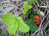 picture of strawberry plant  - big ripe strawberry from the organic garden - JPG