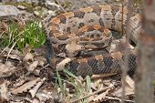picture of timber rattlesnake  - This large timber rattlesnake was photographed in Jackson County Missouri - JPG