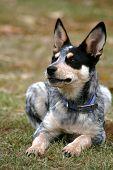 picture of blue heeler  - 4 month old female Blue Heeler pup  - JPG