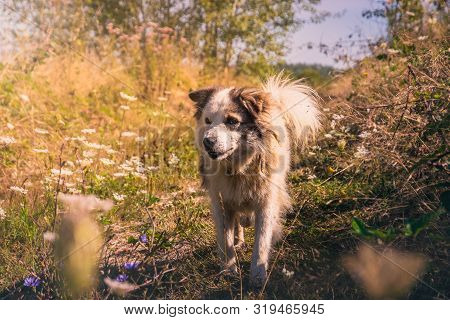 poster of Stray Dog Running In Meadow. Beautiful Stray Dog In Meadow. Close Up Of Stray Dog. Stray Dog Animal.