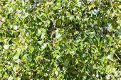Birch Foliage, Green Natural Birch Leaves, Background Wallpaper Texture. Summer Foliage poster