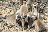 Ring Tailed Lemur On A Row In A Zoo. Nature Concept poster