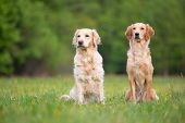 Two Golden Retriever Dogs Obediently Sitting On The Meadow poster