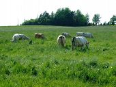picture of charolais  - Charolais cattle grazing in farmers field New Germany Lunenburg County Nova Scotia Canada - JPG