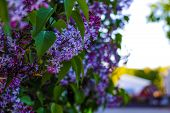 Lilac Branch. Lilac Flowers On The Branch. Lilac Little Lilac Flowers. poster