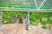 Lemur In The Zoo. An Animal In Captivity. Striped Tail. poster