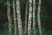 Several Parallel Birch Trees Grow On Dark Forest Background. Row From Birch Trunks Among Rich Vegeta poster