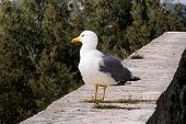Seagull Resting On Dock. Seagull Standing On A Stone Wall And Rest With Pine Forest Is A Beautiful N poster
