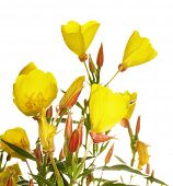 Oenothera glazioviana flower isolated on white